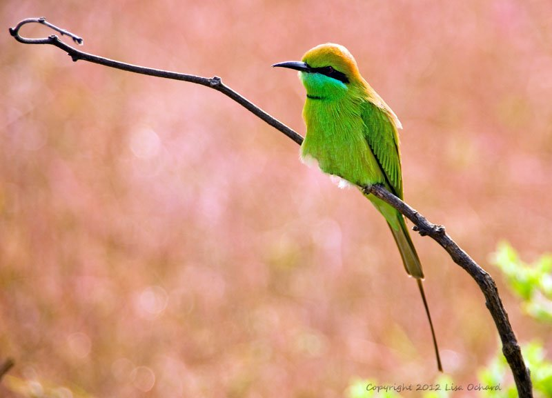 Lovely time with some Green Bee-eaters in a fabulous grasslands.  Our only non-tiger-chasing drive.  Loads of bird activity here.