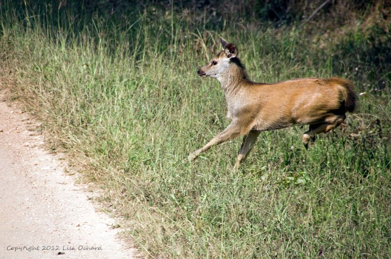 Lonely baby sambar crossing back and forth