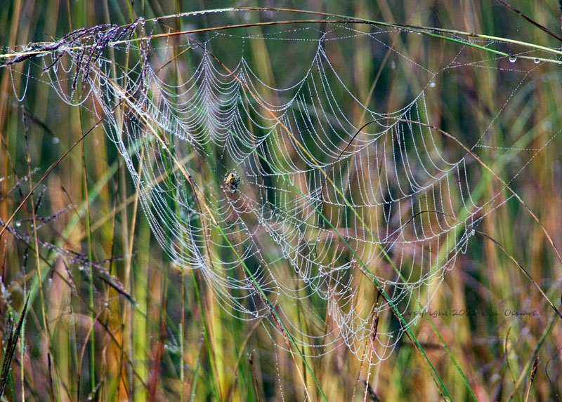 Thousands of tiny dew drops lining the web and spider in the early morning