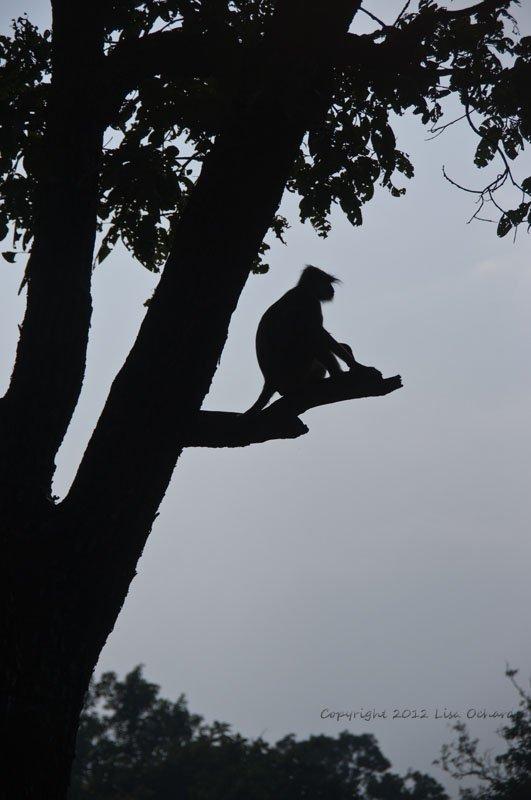 Hanuman Langur waiting for nightfall.
