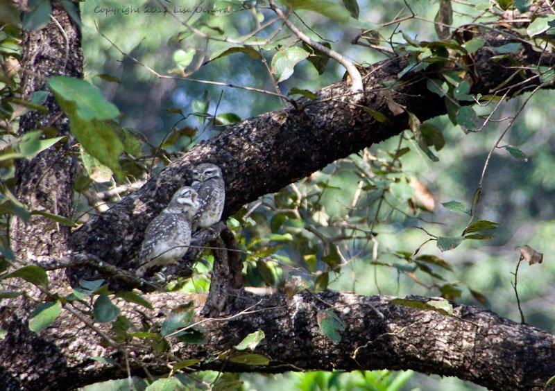 Tough night?  Jungle owlets
