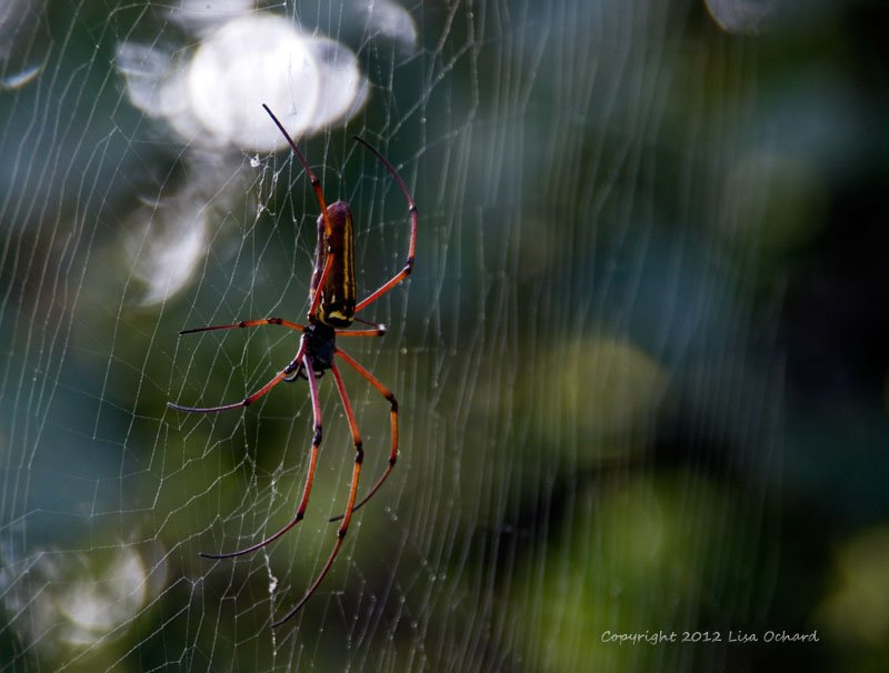The beautiful giant tree spiders, not high in the trees after all!