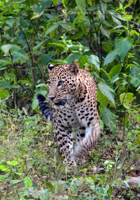 Fantastic male leopard coming toward us.  Seemingly unphased by our awed presence.