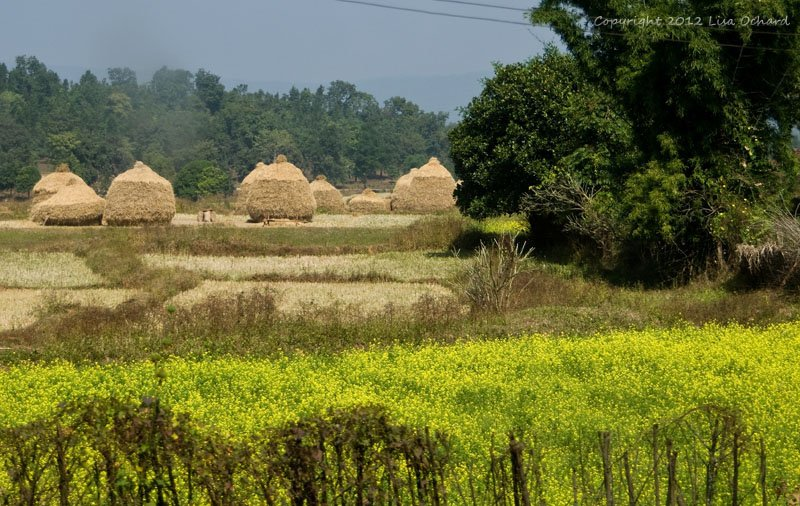 Beautiful mustard seed fields and interestingly shaped hay stacks!