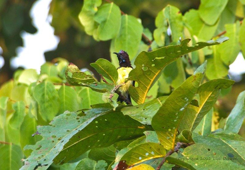 Purple-rumped Sunbird after his bath