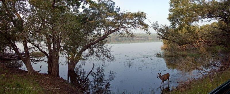 Sambar in the lake
