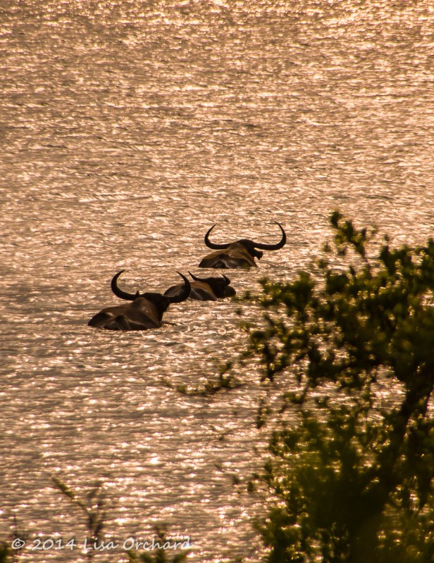 Wild buffalo heading across the river as the sun sets