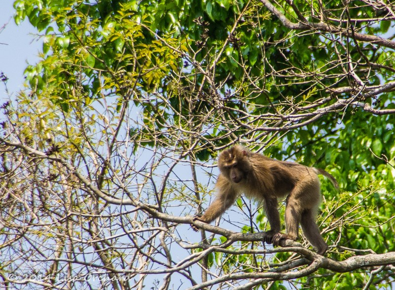 Pig-tailed Macacque coming for a visit