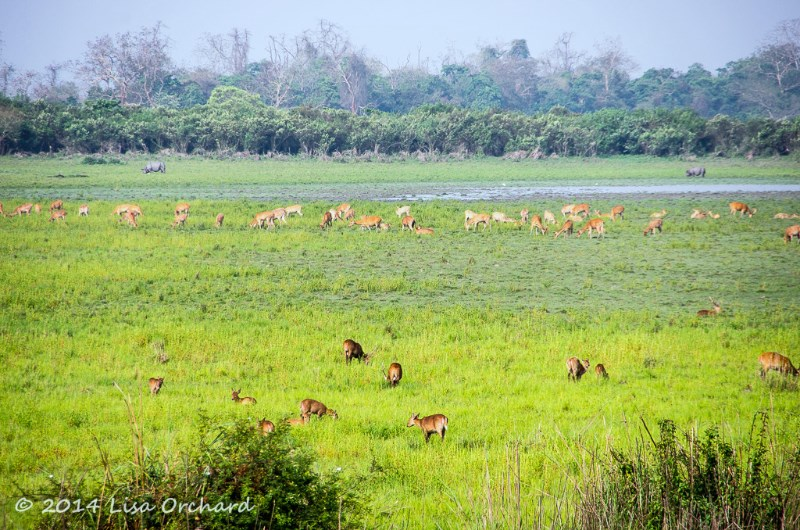 Classic Kaziranga grasslands, with rhino, swamp deer and hog deer grazing