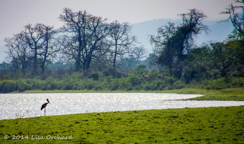 Black-necked Stork resting as the day comes to a close