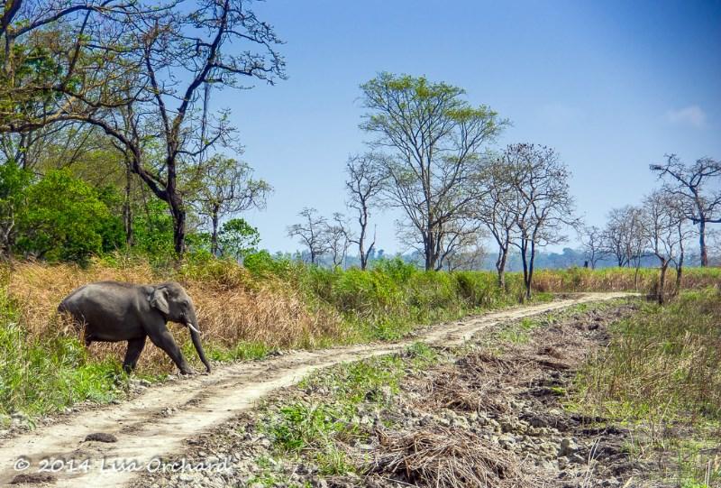 Indian wild elephant teenager