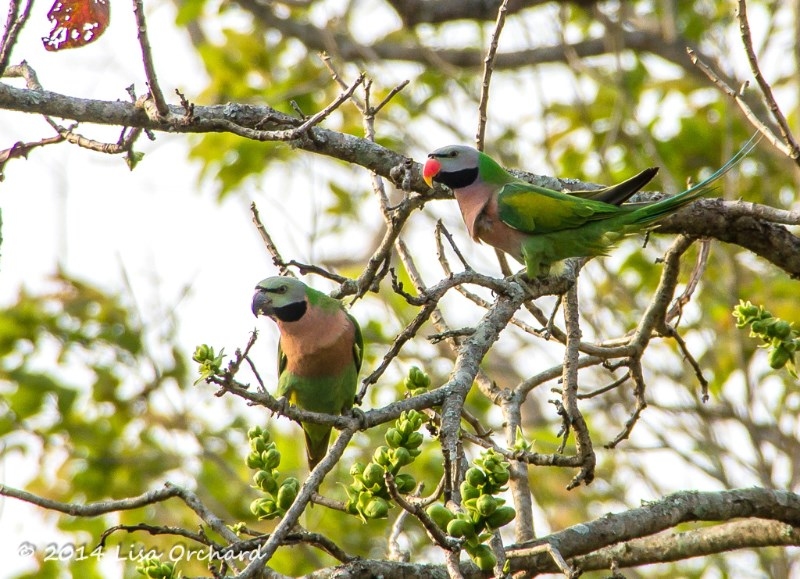 Energetic Red-breasted Parakeet couple