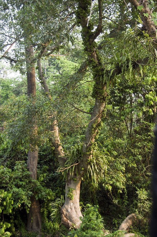 Fantastic trees, with loads of ficus (fig family) fruit for the creatures of the forest