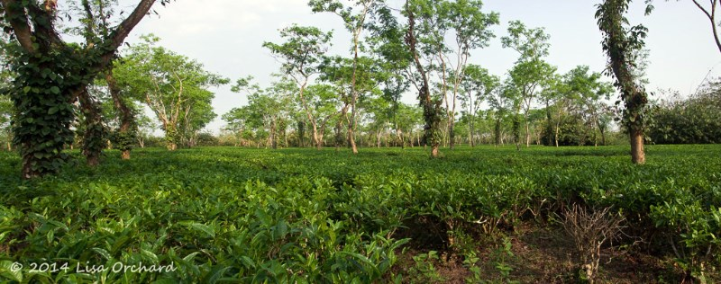 Huge organic tea gardens with black pepper vines growing up the shade trees.  The ditches that run through the tea bushes for water run-off during monsoon.