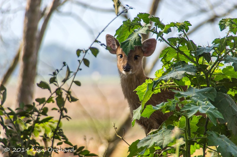Curious hog deer fawn