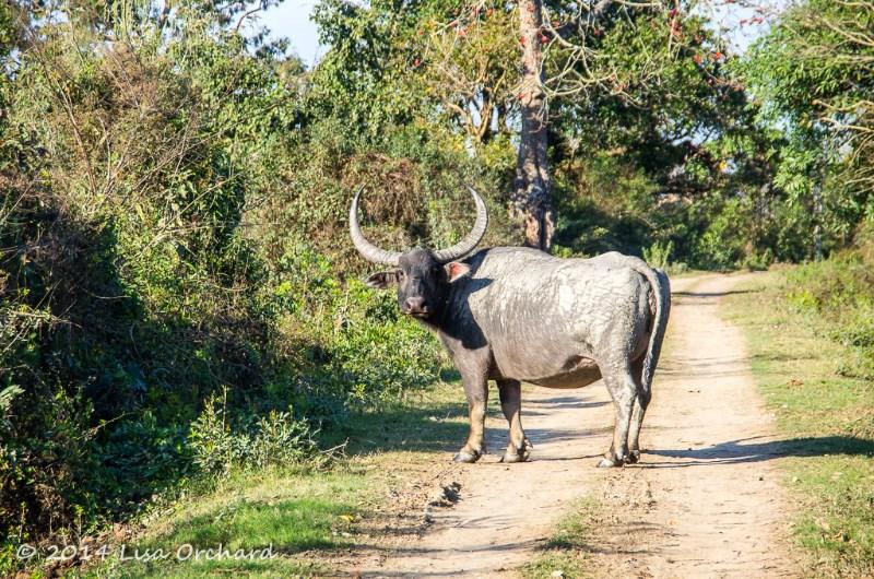 Even the wild buffalo use the mud as sunscreen!