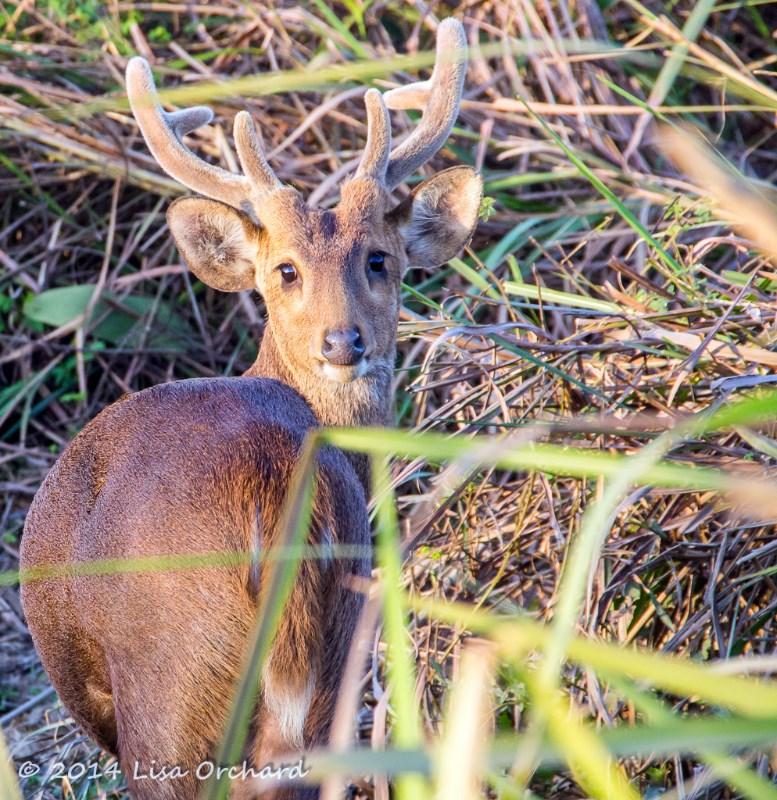 Hog Deer Hello!