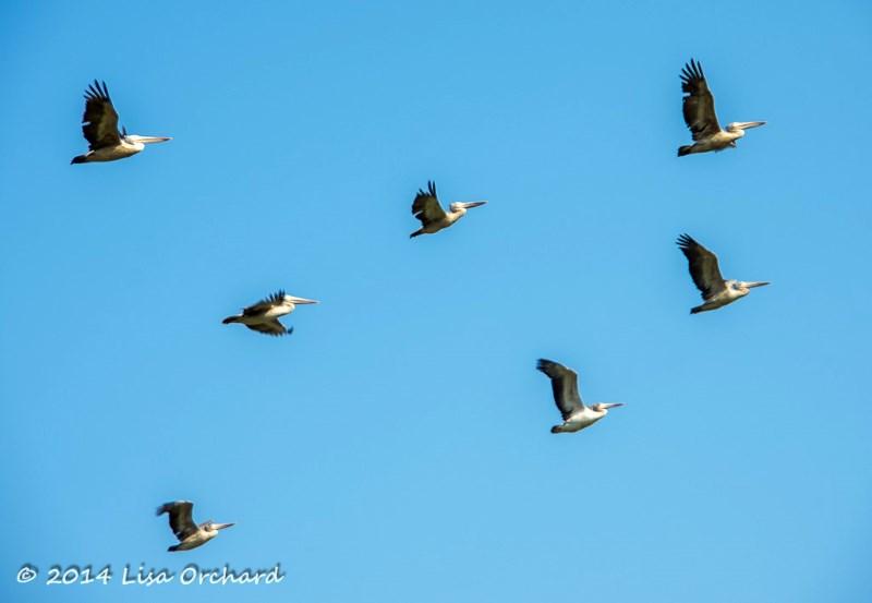 Pelican Sky