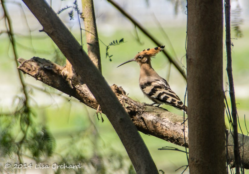 The ever lovely Common Hoopoe