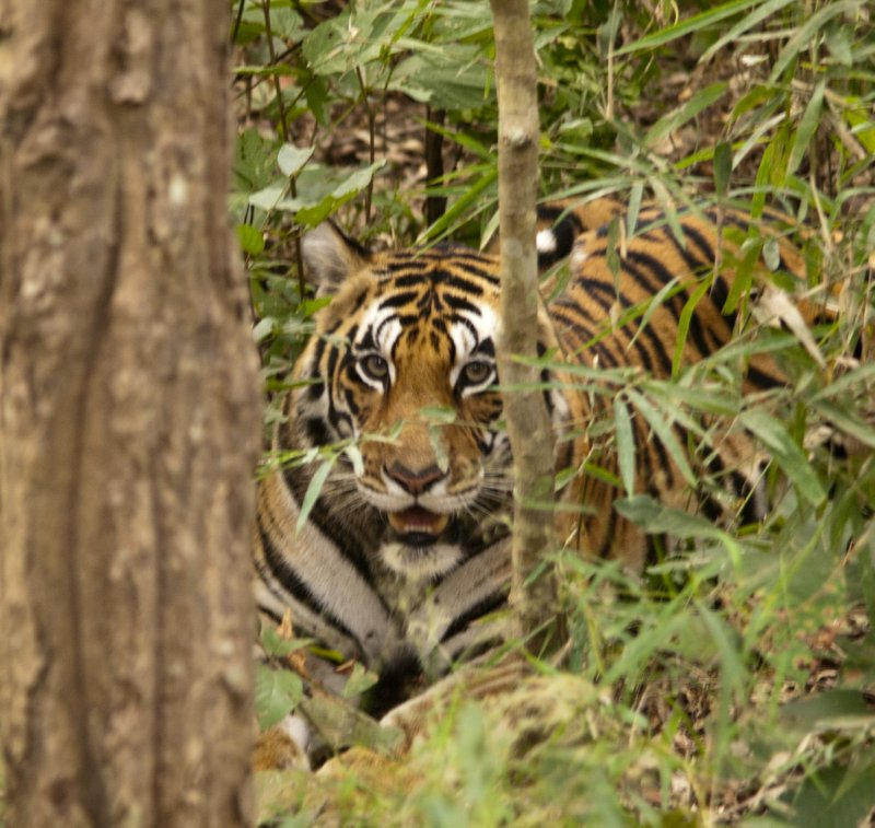 Tigress, was with 2 cubs