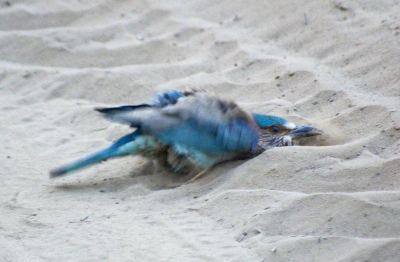 Indian Roller taking a dust bath
