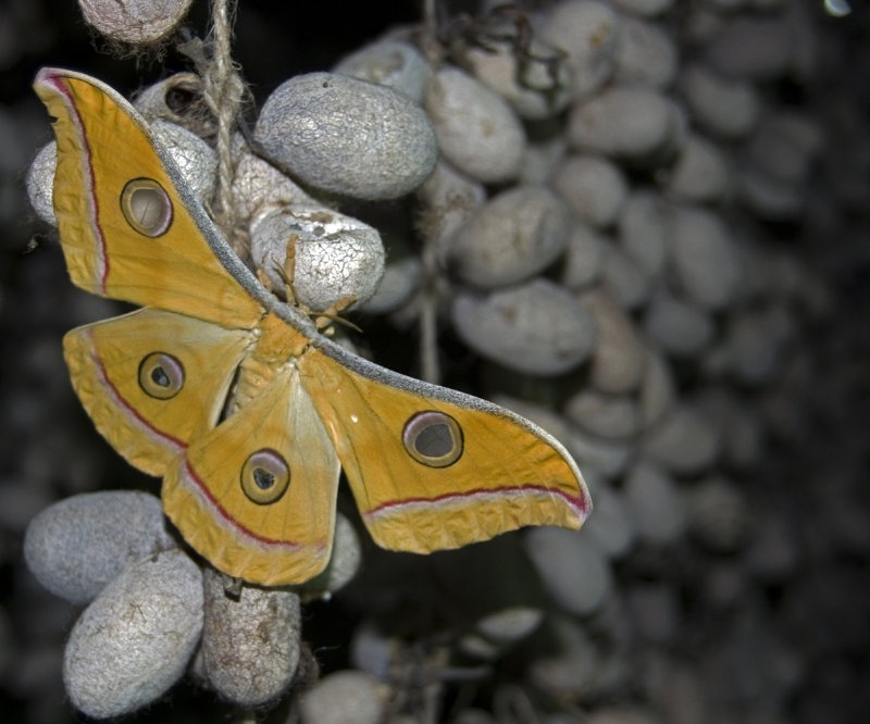 Tusser Silk Moth and Cocoons