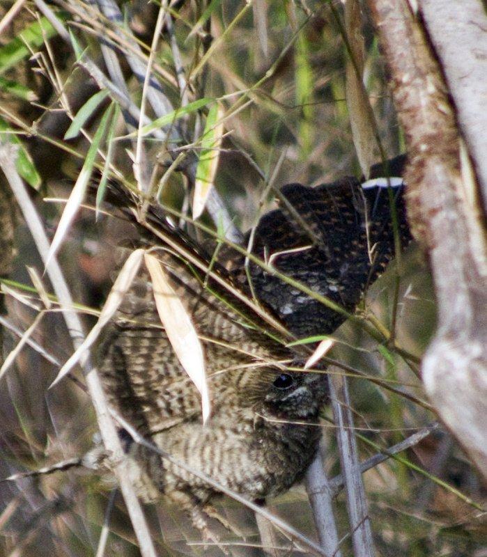 Indian Nightjar stuck in some bamboo