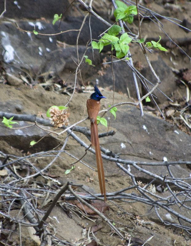 Young male paradise flycatcher
