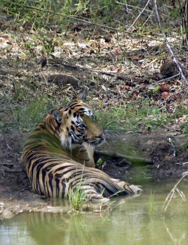 Tadoba Tiger