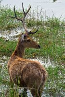 Fighting for the ladies can be hazardous to your Antlers!  Barasingha deer