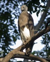 Grey-headed Fish Eagle, looking for dinner in the #4 pond