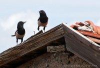 Ankara Crow Conversation