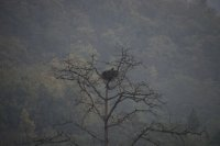 Palas Fish Eagle in Nest