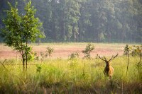 Barasingha in a field of colour