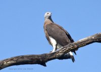 Grey Headed Fish Eagle posing nicely, lah!