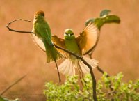 Flying in, Green Bee-eaters