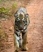 Young tiger venturing off on his own
