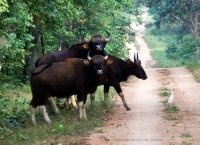 Huge heard of gaur making there way through the forest