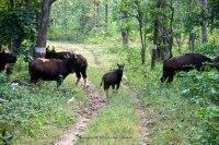 Gaur calf checking us out