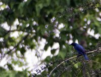 Asian Fairy Bird