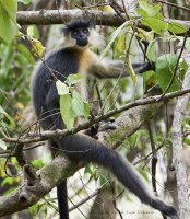 The Capped Langur were the dominant monkey of this forest.  Loved their perpetually startled look!