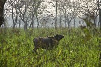 Wild water buffalo, walking in the peculiar way they do, nose in the air!