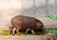 Pigmy Hog, in the conservation centre in Nameri