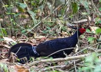 Wonderfully decorative Kalij Pheasant in the dark forest