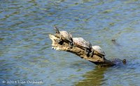 Assam Roofed Turtles, all in a row!