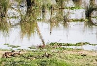 Fun times watching an Indian Smooth Coated Otter family across the river