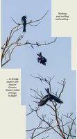 Greater Racket-tailed Drongo takes flight