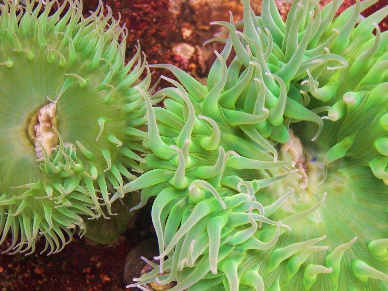 anemone in tide pool