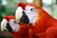 macaws in Leticia