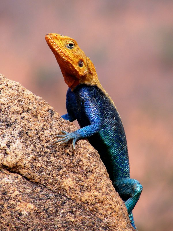 Orange-headed Lizard